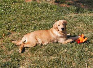 spiceolife golden retrievers - spiceolife karagold ruby